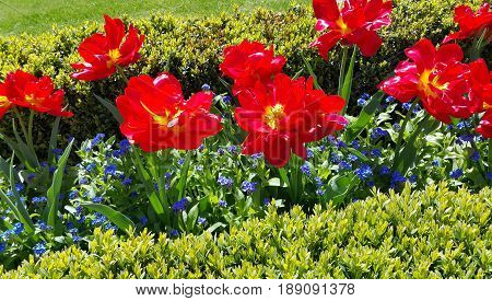 Beautiful Tulips and Forget Me Not flowers close-up