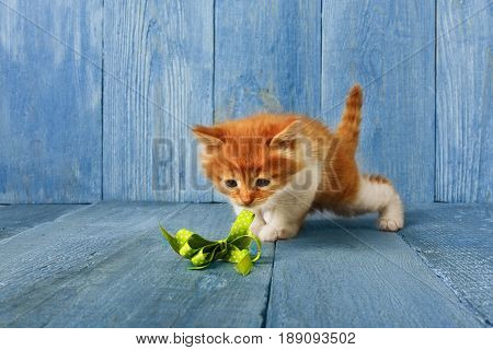 Lovely ginger kitten plays with ribbon at blue wood background with copy space. Long haired red orange small cat with white chest.