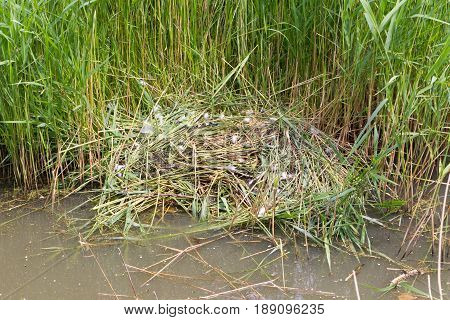 Nest Of A Pair Of Cygnets