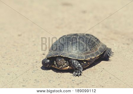 Tortoise walking slowly on the road with his protective shell