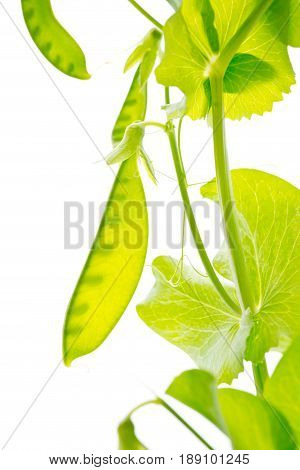 Snow Peas with backlighting - white background