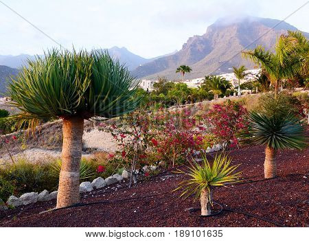 Beautiful view with Dracaena draco trees growing in the park of Tenerife,Canary Islands,Spain.
