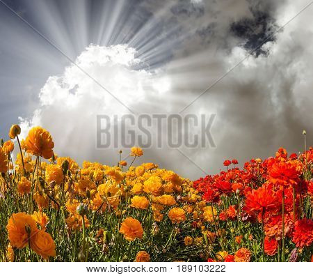 The fields of red and yellow garden buttercups. The bright southern sun shines through the lush cloud.  Concept of rural tourism