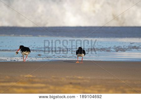 Pied Oystercatcher birds in black white with long red orange bills feeding fresh fish on sandy beach. Seashore coast in afternoon with foamy waves in Tasmania, Australia (Haematopus longirostris)
