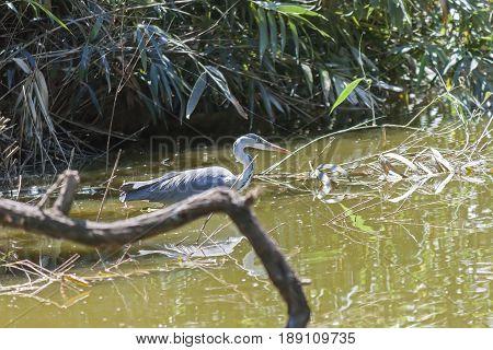Grey heron Ardea cinerea hunting amongst vegetation
