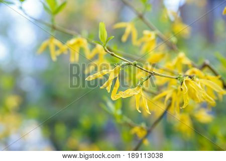 Close up branch of blooming Forsythia with intermediate yellow flowers and green leaves