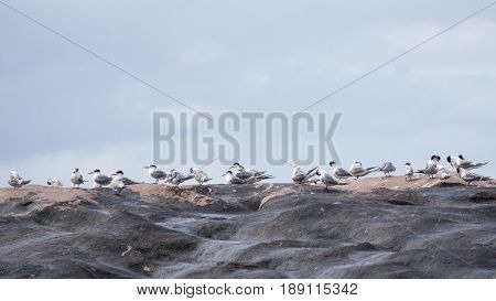 Crested Terns (Thalasseus bergii) preening on rocks Western Australia