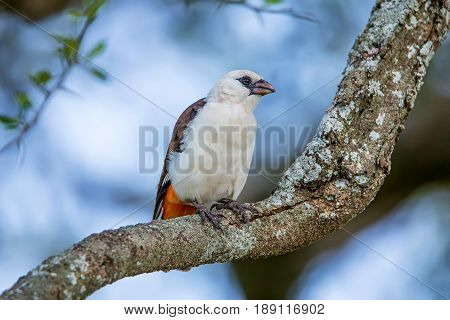 White-headed Buffalo Weaver or Dinemellia dinemelli perched on a branch in Serengeti National Park, Tanzania