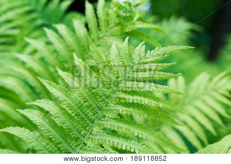 Close-up of green Fern leaves under sunlight in the woods.  Ferns in the morning light. Plants in the Forest.  Growing Ferns