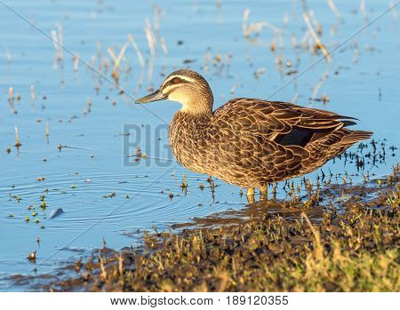 A Pacific Black Duck (Anas superciliosa) at the water's edge at Herdsman Lake in Perth, Western Australia.