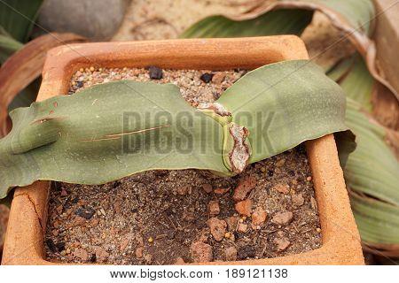 fresh green welwitschia mirabilis plants in nature garden