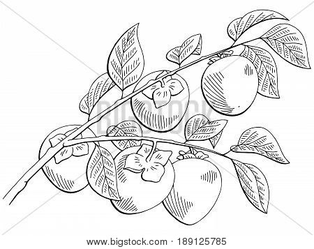 Persimmon fruit graphic branch black white isolated sketch illustration vector