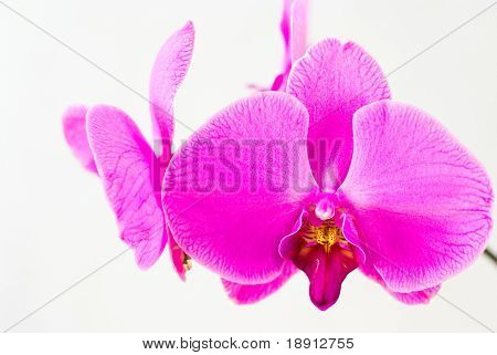 Rosa Orchidee, isolated on white background