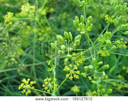 Fennel, Foeniculum vulgare, in a herb garden