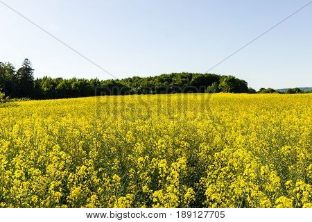 Rapeseed field and tree line on a sunny day