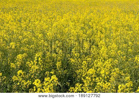 Close-up of a blooming yellow rapeseed field