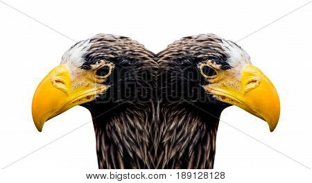 hawk double-headed, eagle isolated on white and path