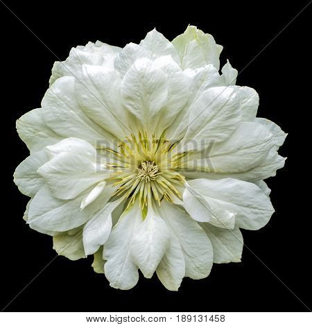 Close up view of a white Clematis on a black background.