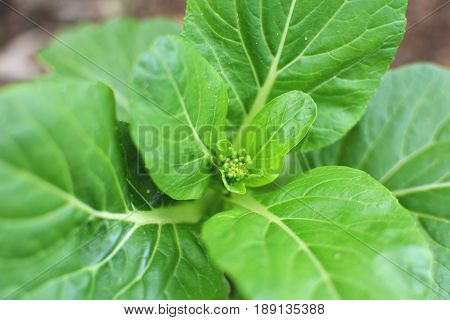 Close up fresh lettuce cantonese in farm selective and soft focus