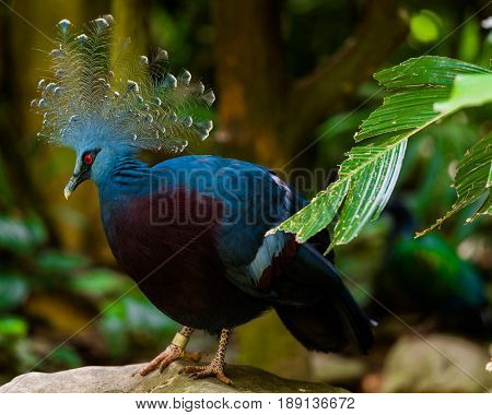 A common crowned pigeon sits quietly on a rock