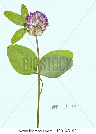 Pressed and dried flowers clover isolated on blue background. For use in scrapbooking floristry or herbarium.