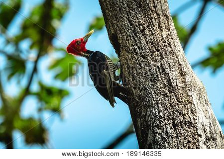 Pale billed woodpecker (Campephilus guatemalensis) building hole in the tree. Costa Rica