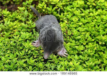 Mole Talpa europea on the green plants. Black mole photo shot from the top