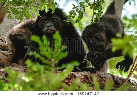 Mantled howler (Alouatta palliata). Female of golden mantled howler monkey with baby on the tree.