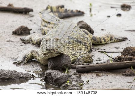 A big fat crocodile resting on the mud at a pond in nature artistic conversion