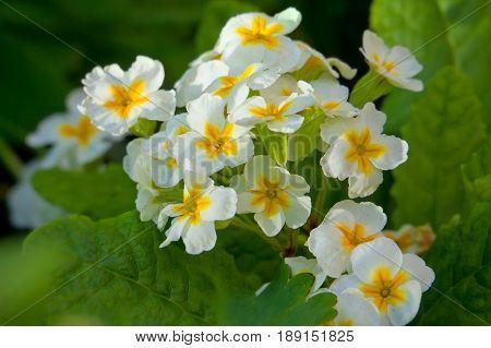 Primroses (primula vulgaris) in the garden summer