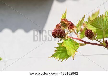 Blackberries Not Yet Ripe On The Plant