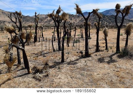 Charcoaled barren landscape with burnt Joshua Trees caused by a wildfire taken at the Mojave Desert in Kelso Valley, CA