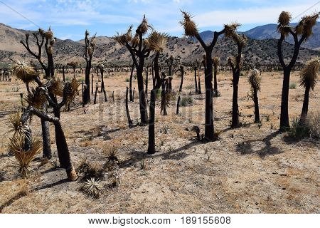 Charcoaled landscape with burnt Joshua Trees from a wildfire taken at the Mojave Desert in Kelso Valley, CA
