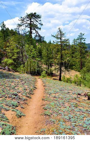 PCT Trail which is a hiking trail that runs thru California, Oregon, and Washington taken at a Pine Forest in the Sierra Nevada Mountains, CA