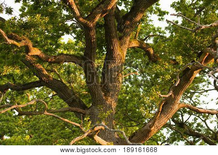 Old oak tree in English countryside soon after dawn in the Golden Hour.