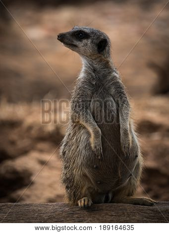 Portrait Of A Young Pregnant Meerkat Sitting On A Log