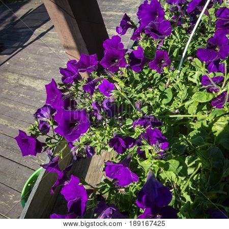Purple Petunia. Basket of lush bright purple petunias, a favorite annual in the summer garden.