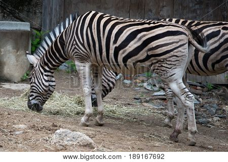 PHILADELPHIA, PA - MAY 30: Common zebra Equus burchellii Equus burchellii antiquorum at the Philadelphia Zoo, Amercia's First Zoo, wildlife refuge and zoological garden on May 30, 2017