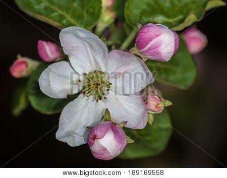 Apple bud Apple-tree Malus in the garden