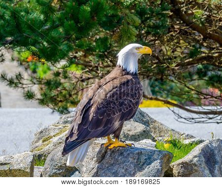 Portrait of a bald eagle (lat. haliaeetus leucocephalus) in Vancouver, Canada.