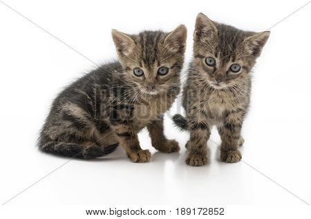 pair of abandon kittens dirty and hungry. These kittens are from one of the many stray cats that are in Europe isolated on a white background footnote these kittens is now rehomed .
