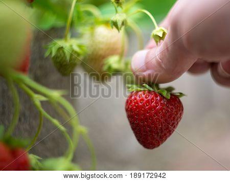 harvest picking ripe strawberry in garden in hand in summertime