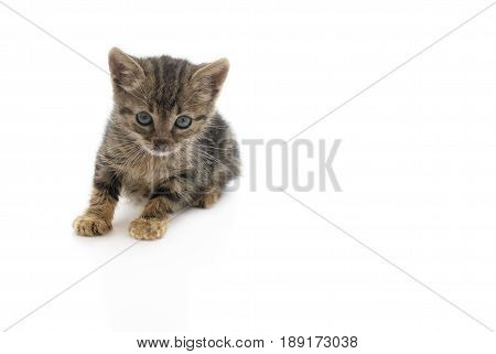 An abandon kitten dirty and hungry. This kitten is from one of the many stray cats that are in Europe isolated on a white background footnote this kitten is now rehomed .