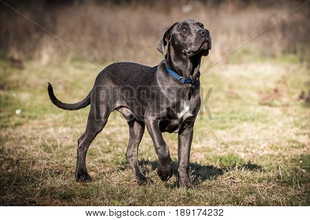 Italian mastiff pupy during his walks posing for photo