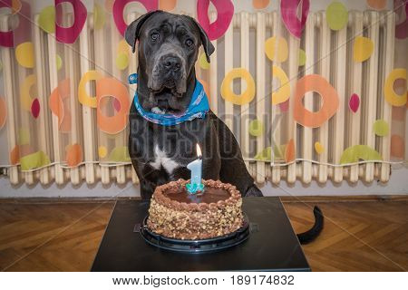 Astonished dog posing behind his cake for his first birthday