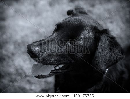 Young black lab or mixed breed dog in black and white.