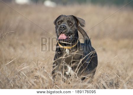 Beautiful dog in the dry grass guarding looks at whether there are intruders