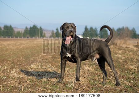 Dog watching his territory during obedience and guarding dressage