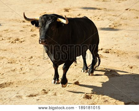 bull in spain with big horns,spanish bull