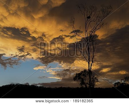 Ominous golden Australian sunset with stormy mammatus clouds and eucalyptus gumtree silhouette